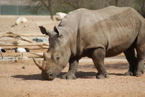 Al_Ain_Zoo_Rhino.JPG