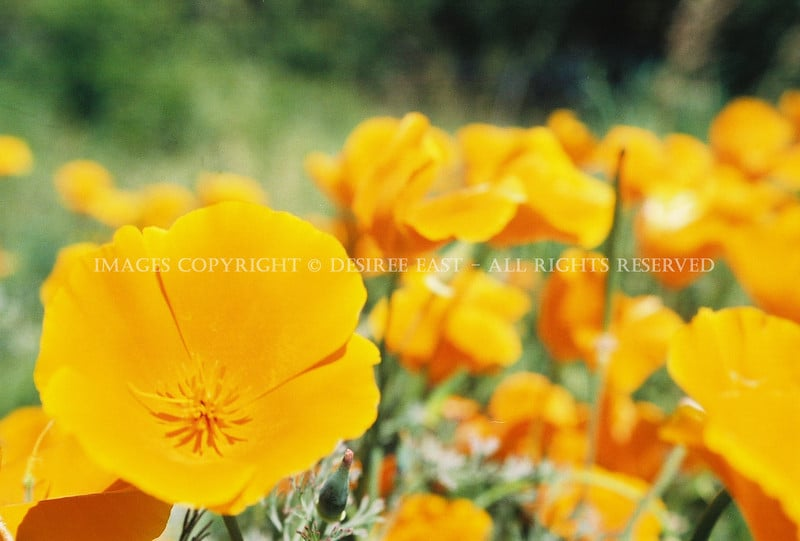 ca-poppies-photo-by-desiree-east.jpg