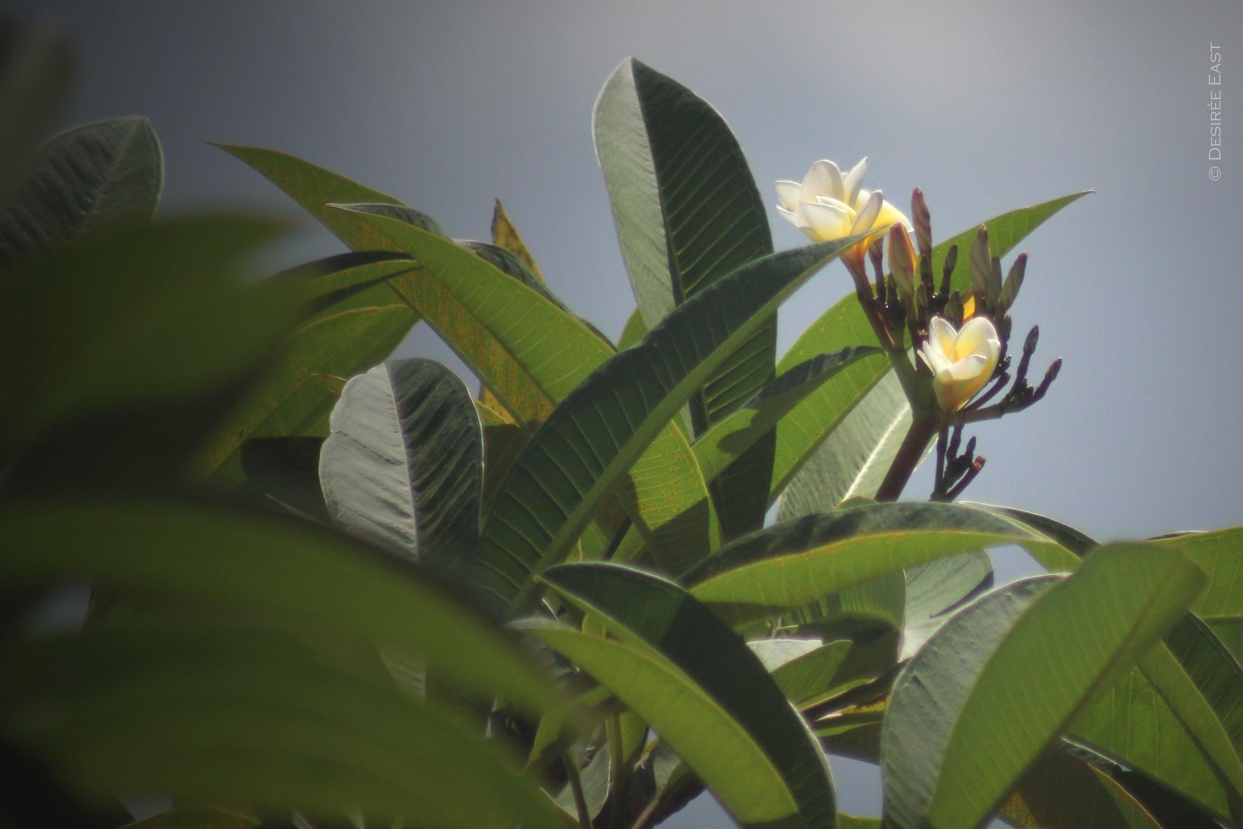 plumeria blooming everywhere. bali, indonesia. photo by desiree east