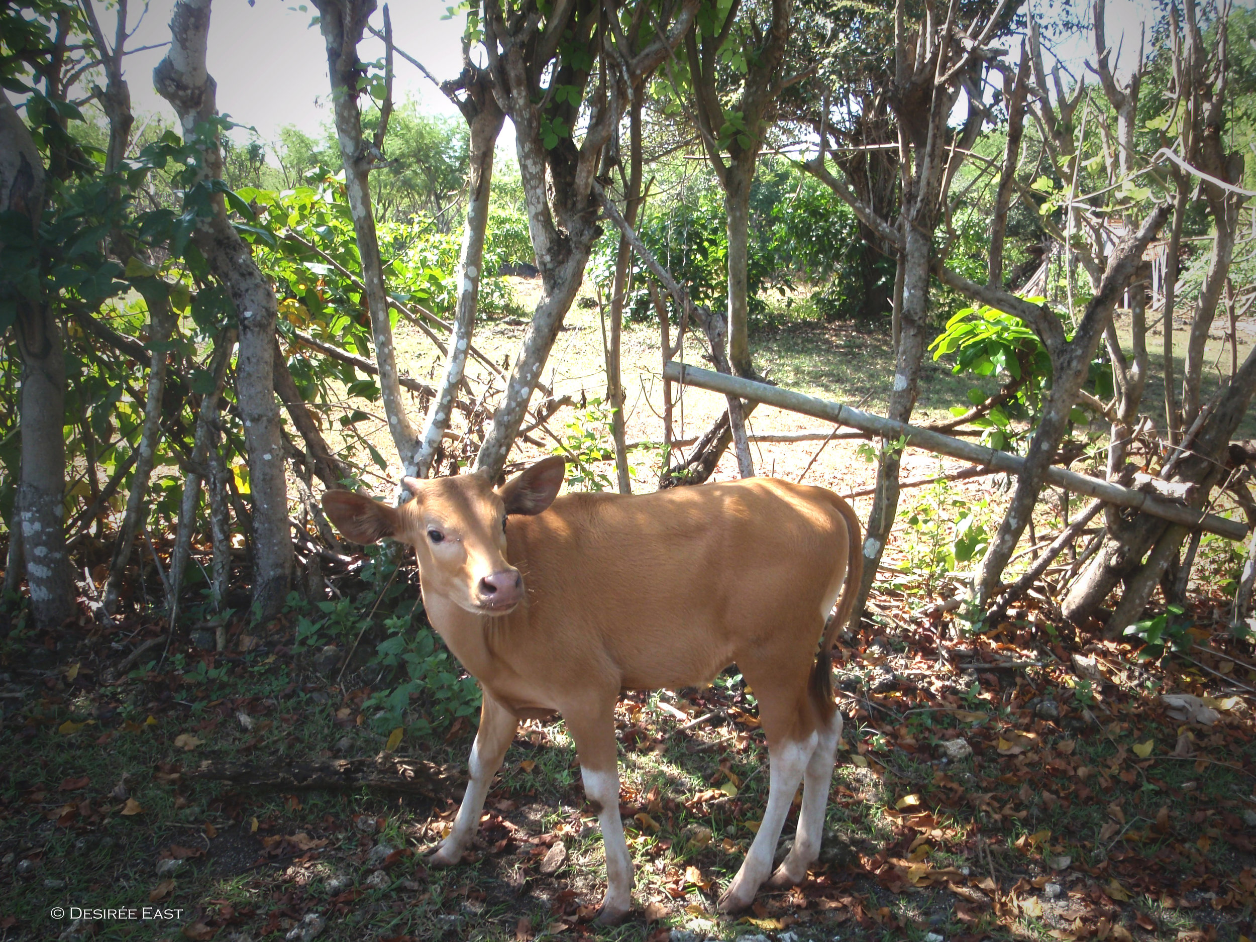 cute little side-of-the-road calf. bali, indonesia. photo by desiree east