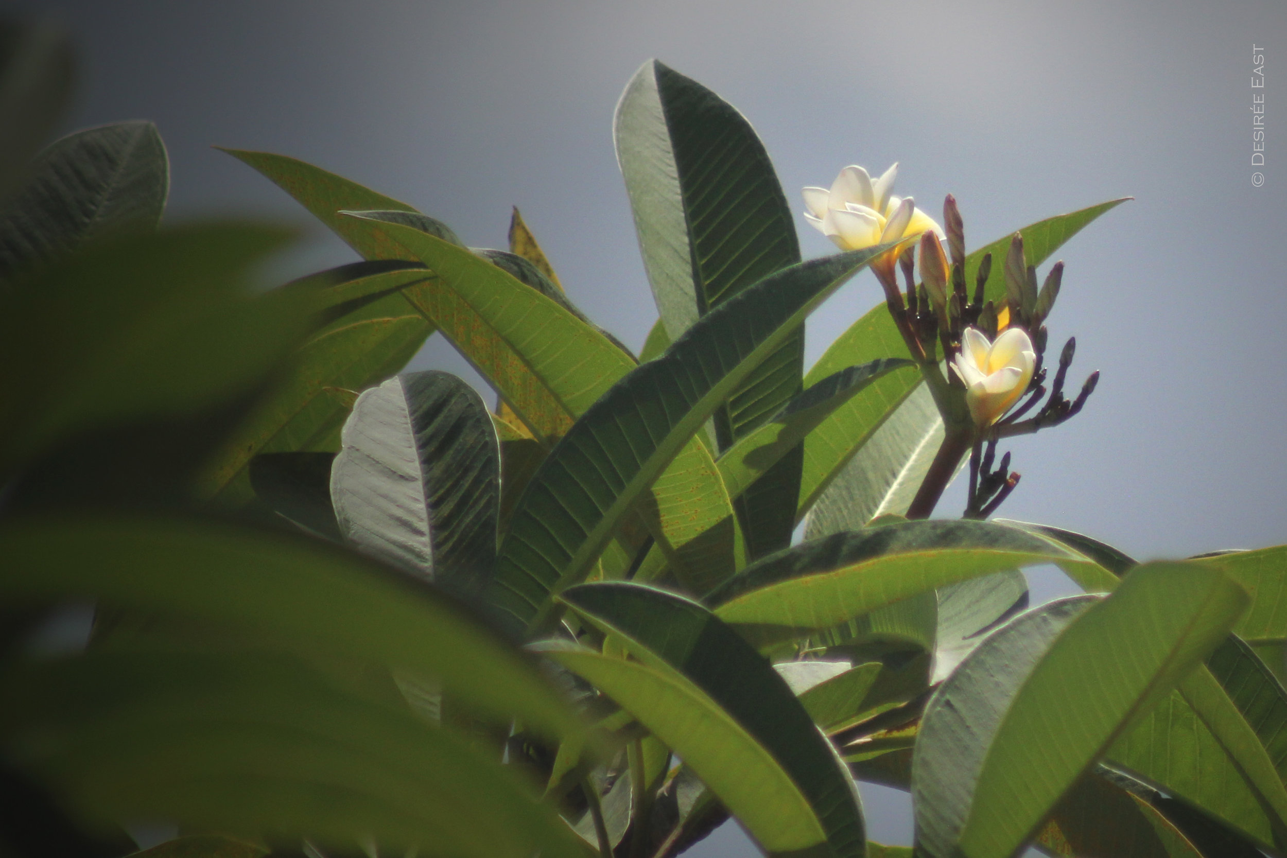 plumeria blooming everywhere. bali, indonesia. photo by desiree east