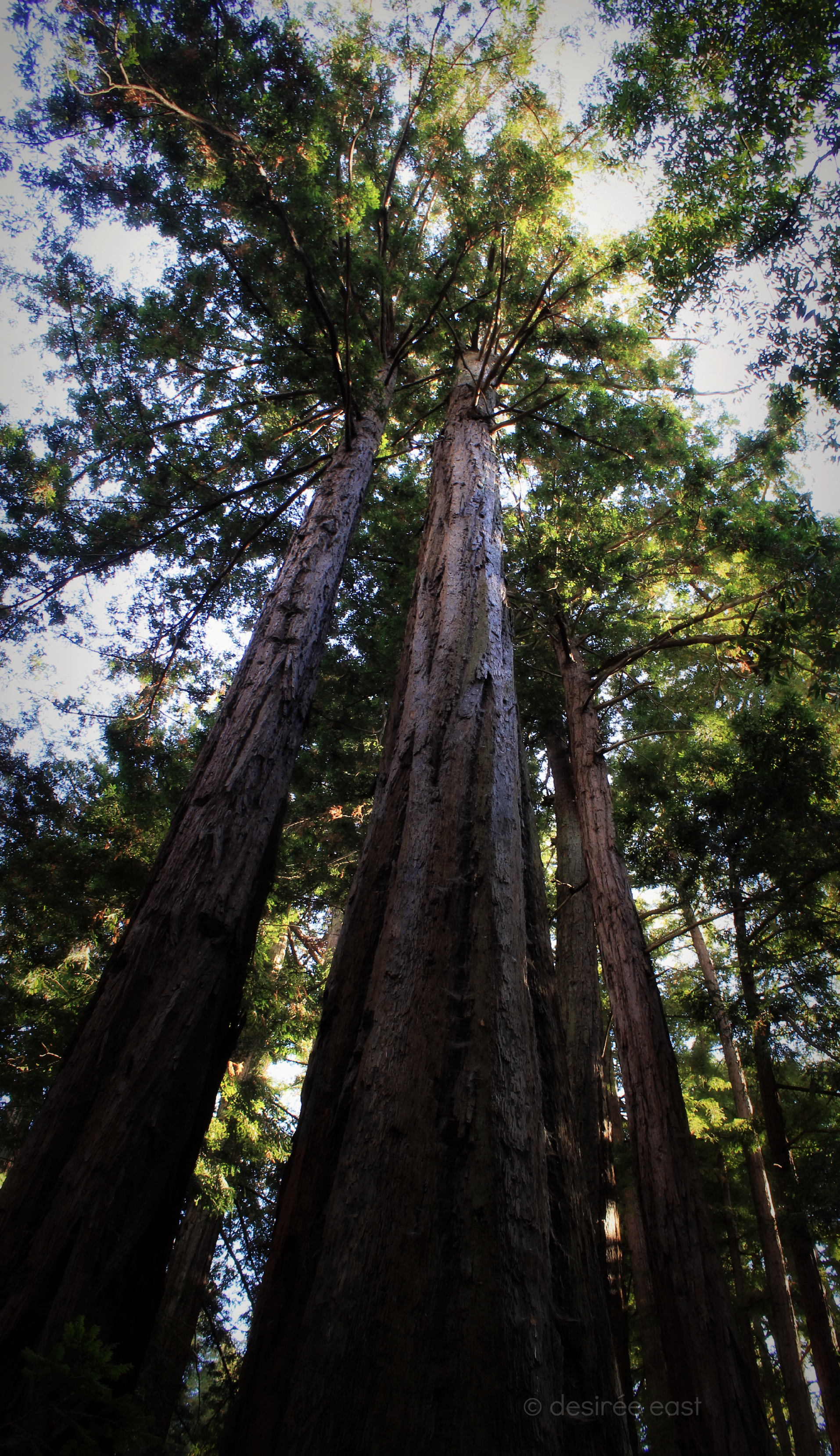 statuesque beauties. sequoia sempervirens - coast redwoods. big sur, california. photo by desiree east