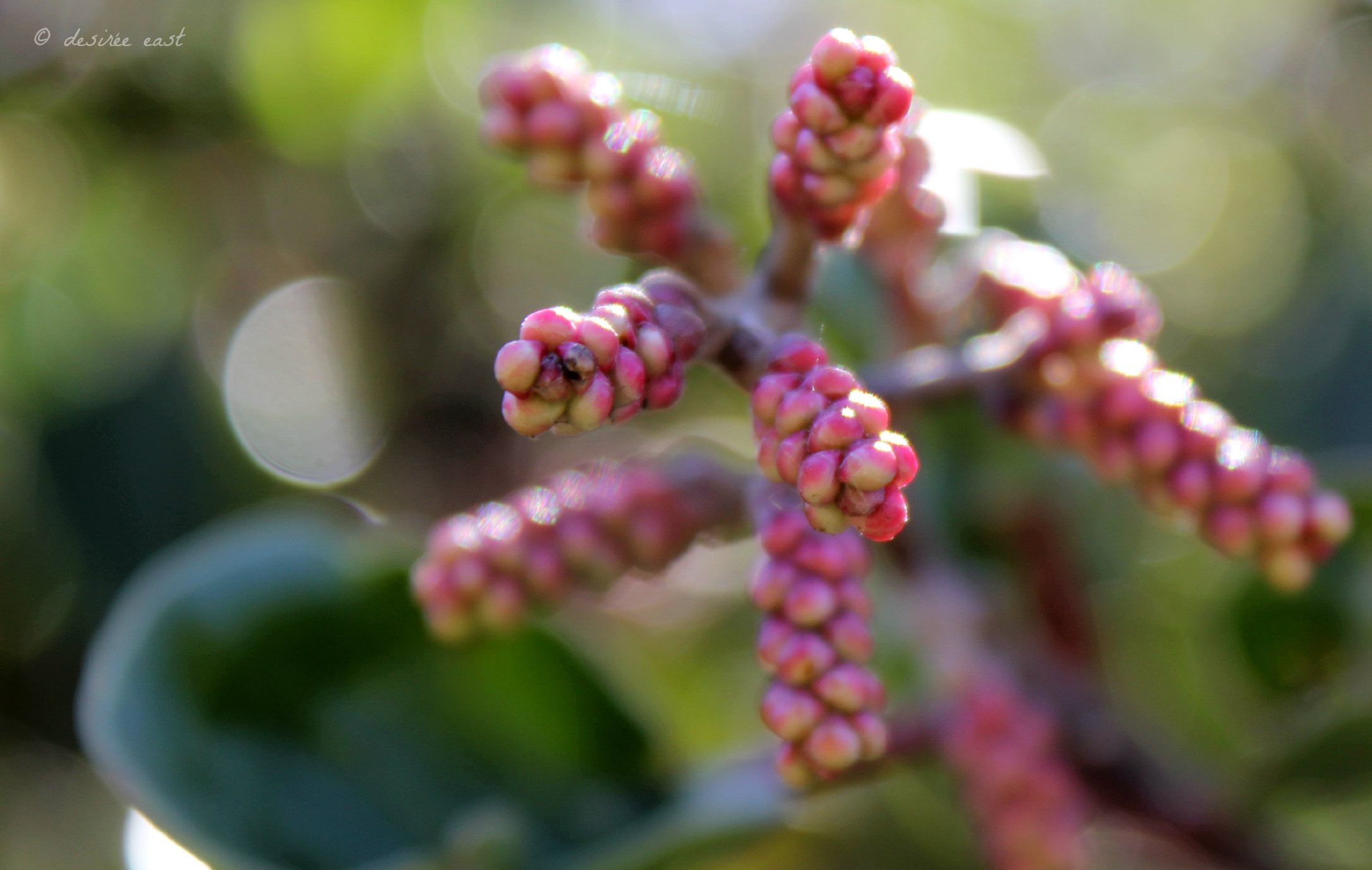 wordpress weekly photo challenge -  lost in the details - rhus integrifolia - lemonade berry - photo by desiree east (2)