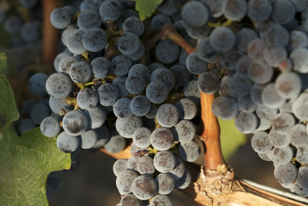 wine_grapes _vines