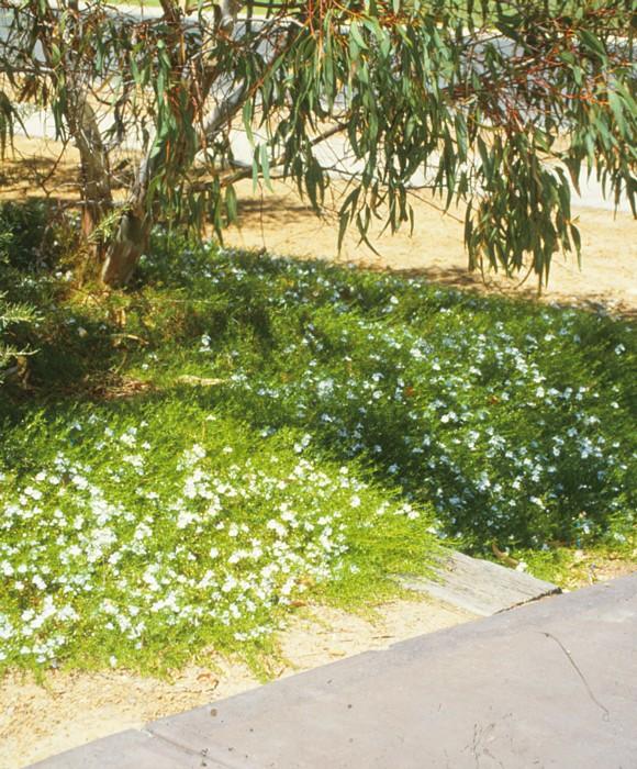 Snakebush Alba 2.jpg
