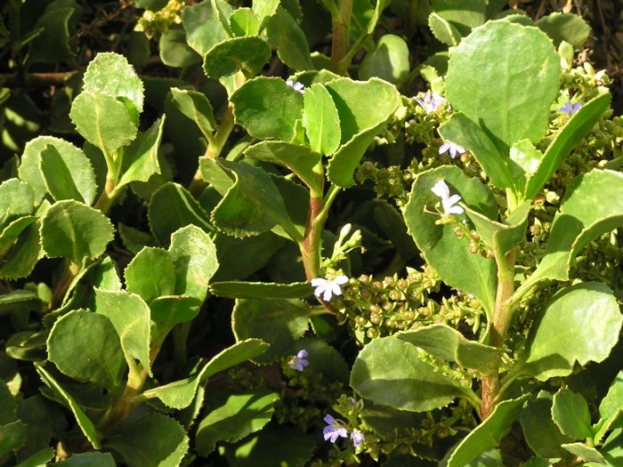 Scaevola Anchusifolia.jpg