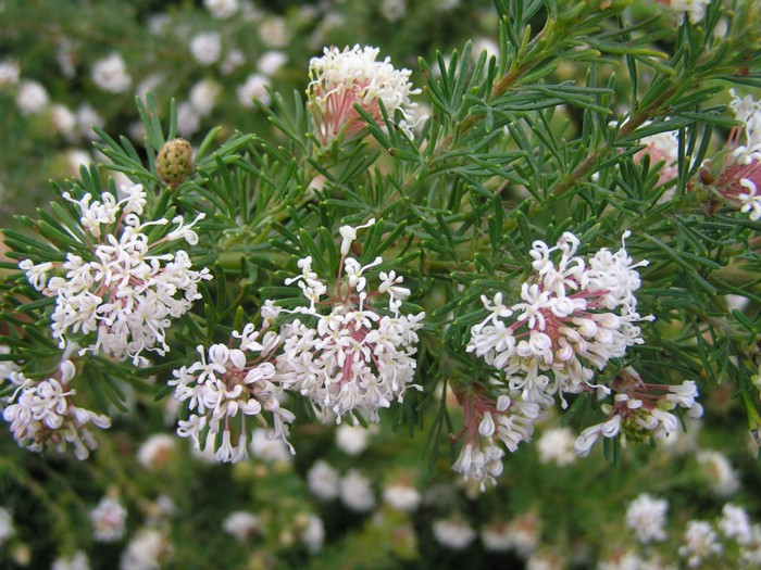Grevillea crithmifolia.jpg