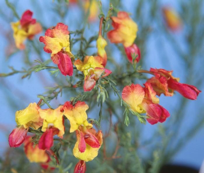 Yellow Leschenaultia.jpg