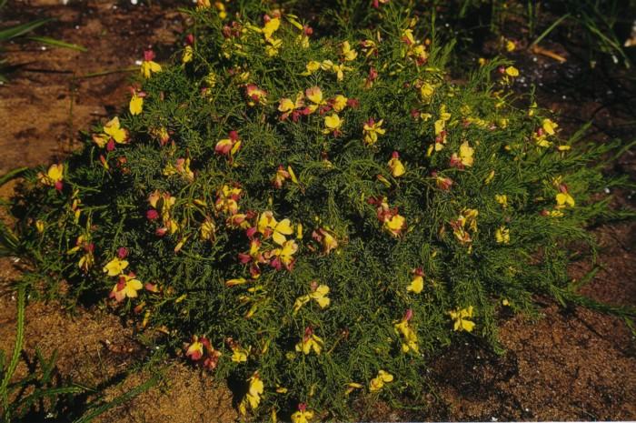 Yellow Leschenaultia 2.jpg