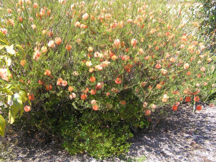 Apricot Delight 2.jpg