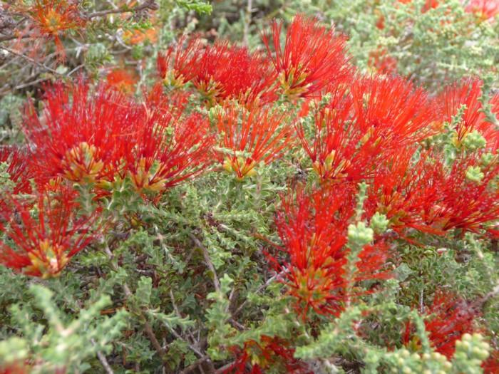 Sand Bottlebrush red.jpg