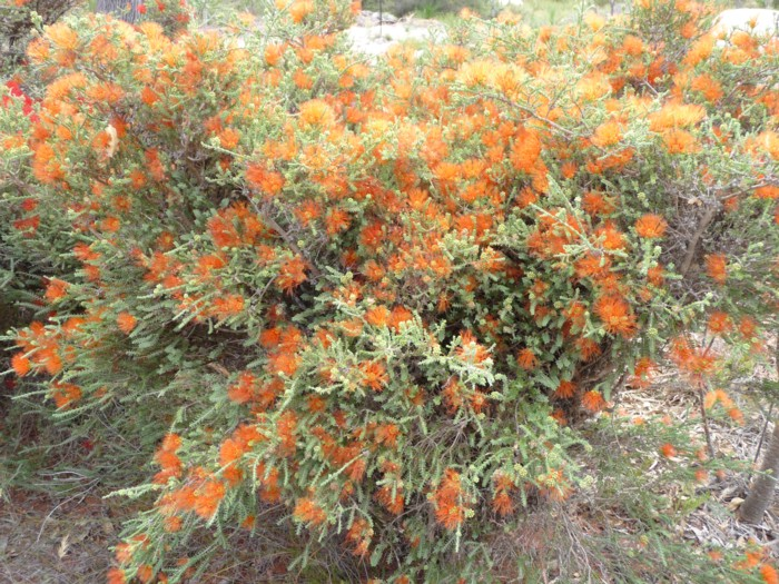 Sand Bottlebrush orange.jpg