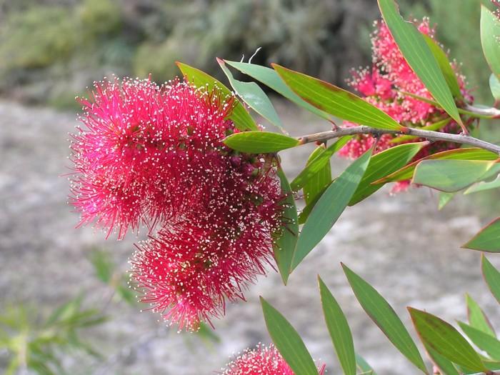 Red Flowering Paperbark.jpg
