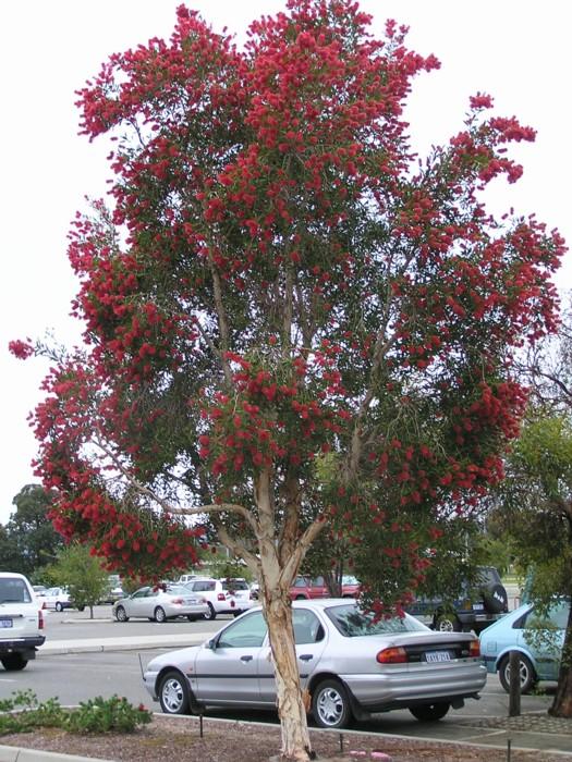 Red Flowering Paperbark 2.jpg