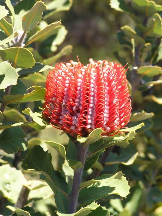 Scarlet Banksia.jpg