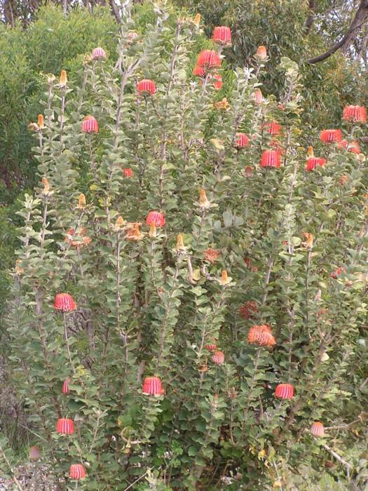 Scarlet Banksia 2.jpg
