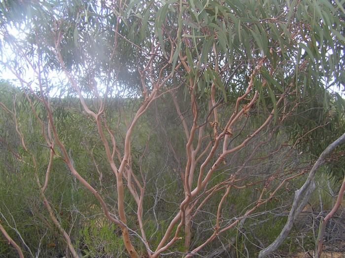 Eucalyptus Beardiana 2.jpg
