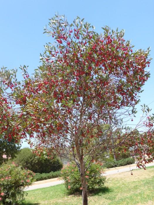Fuchsia Mallee.jpg