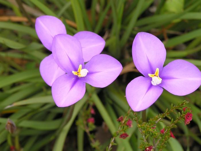 Native Iris.jpg