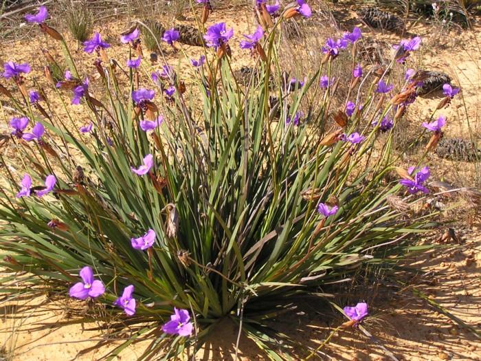 Native Iris 2.jpg