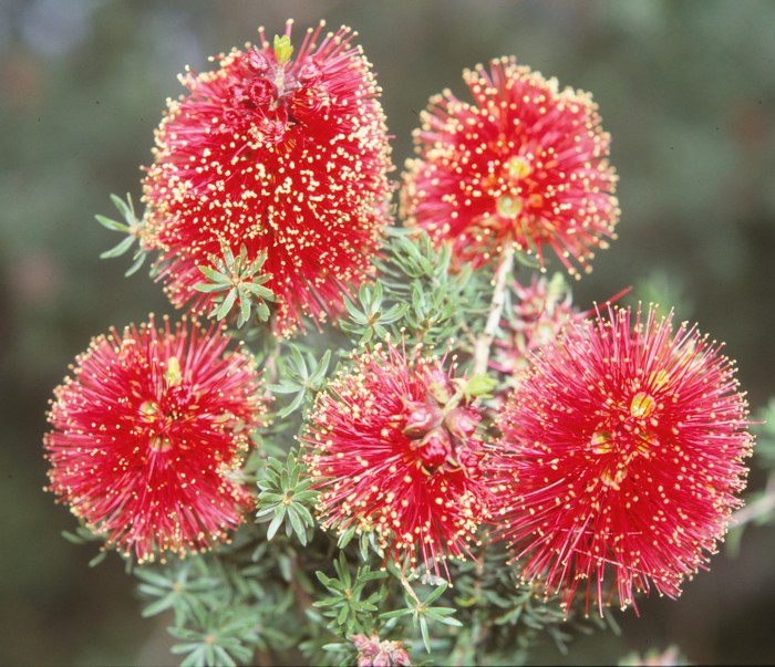 Winter Flowering Bottlebrush.jpg