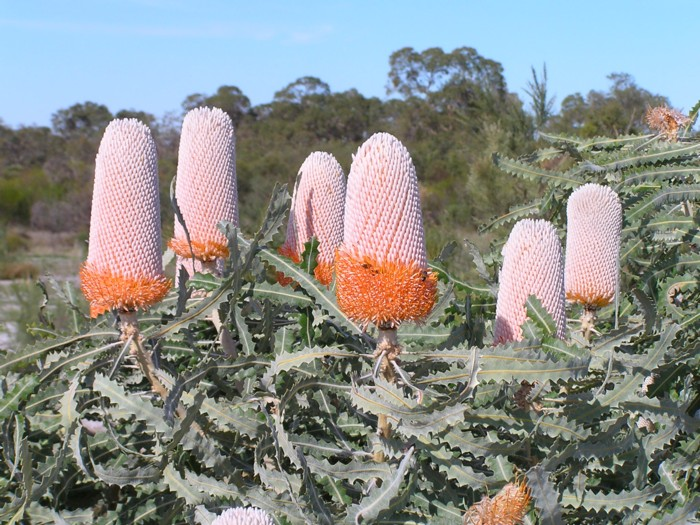 Banksia prionotes (little form).jpg