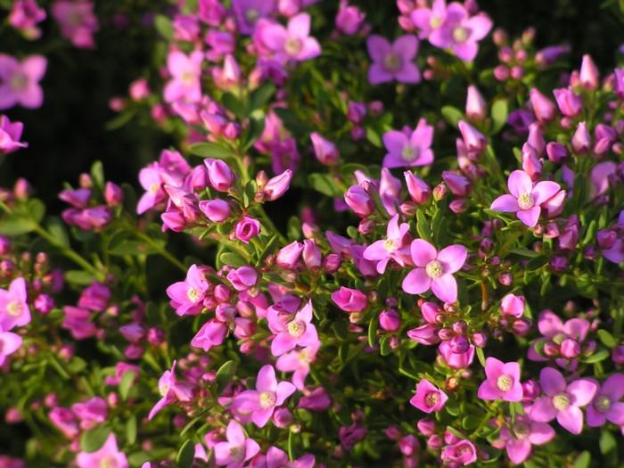 Contact US >> Boronia Crenulata — Lullfitz Nursery