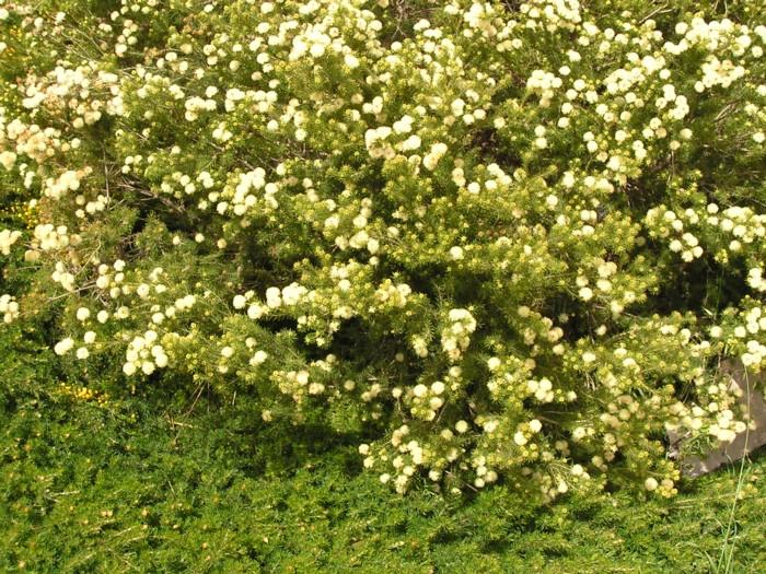 Grevillea crithmifolia 2.jpg