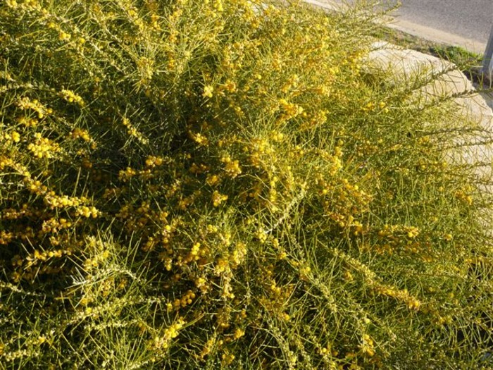 Acacia ashbyae.jpg