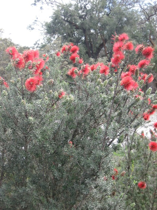 Kunzea pulchella 2.jpg