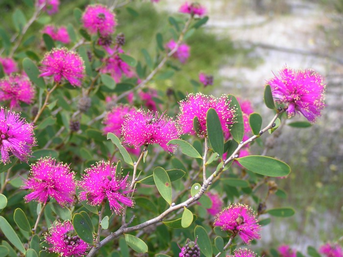 Melaleuca conothamnoides.jpg