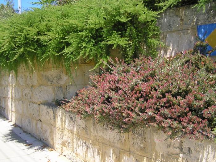 Adenanthos cuneatus 2.jpg