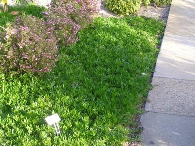 Myoporum parvifolium Broad Leaf.jpg