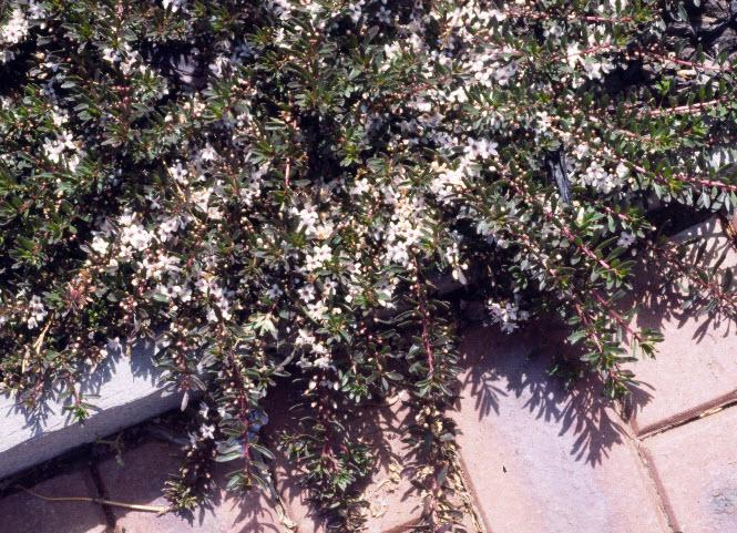Myoporum-parvifolium-purpurea.jpg