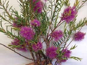 Melaleuca radula mauve close.jpg