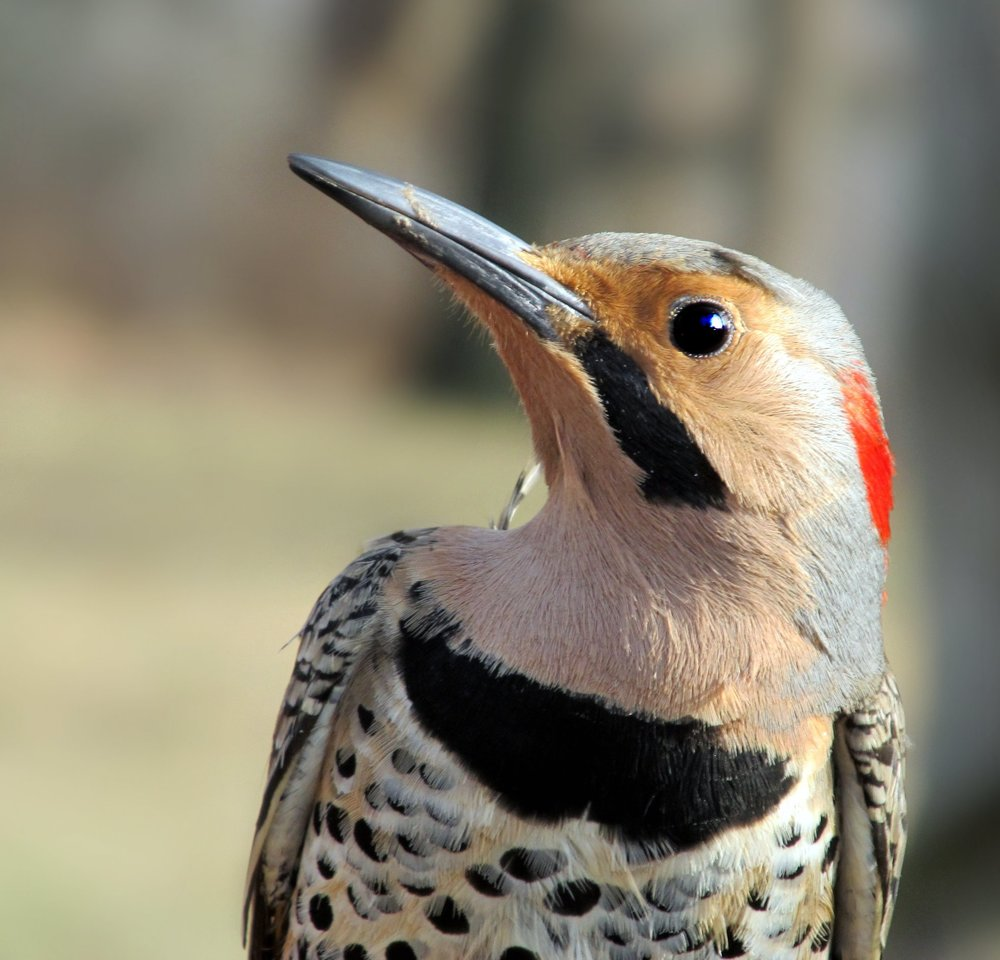 Flicker is the Animal Totem and Guide of today's Channeling New Moon in Libra.