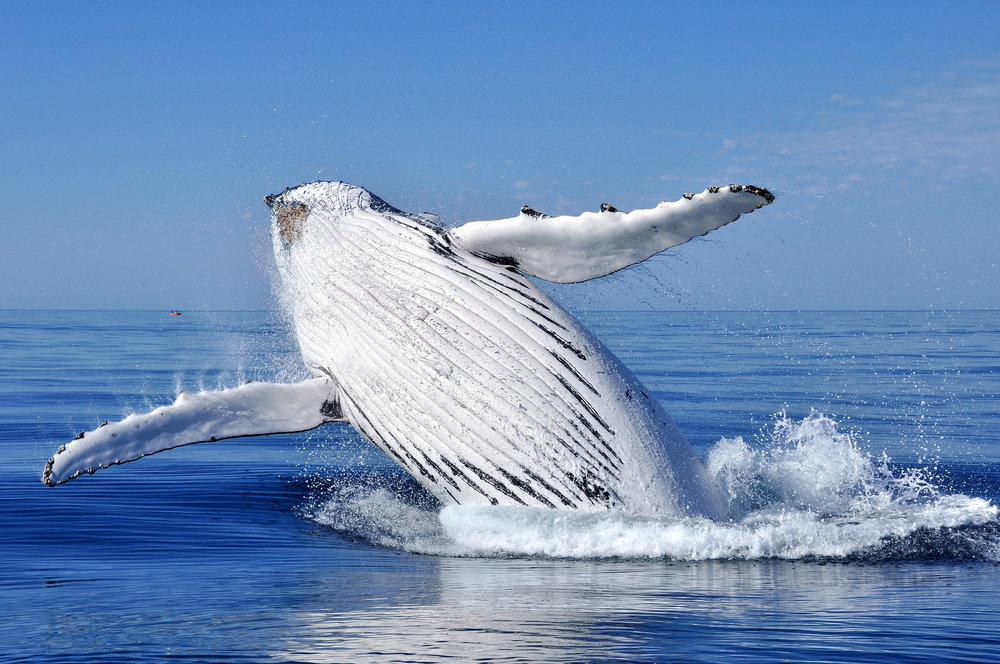 Humpback Whale Animal Totem Guide Michelle Hawk