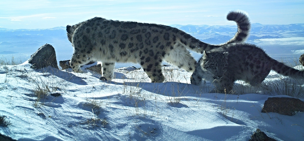 Snow Leopards at Jargalant Khairkhan Mountain photo by WWF Mongolia
