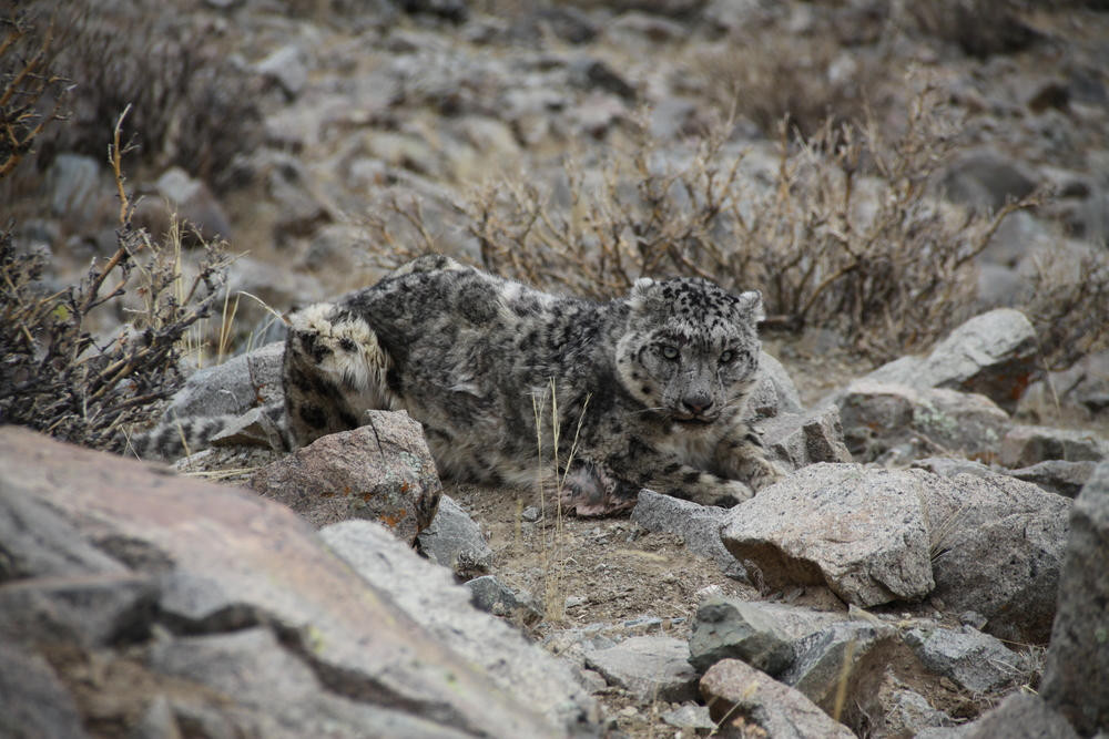 Snow Leopard trek -