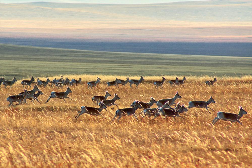 Gazelles by Khasar Sandag