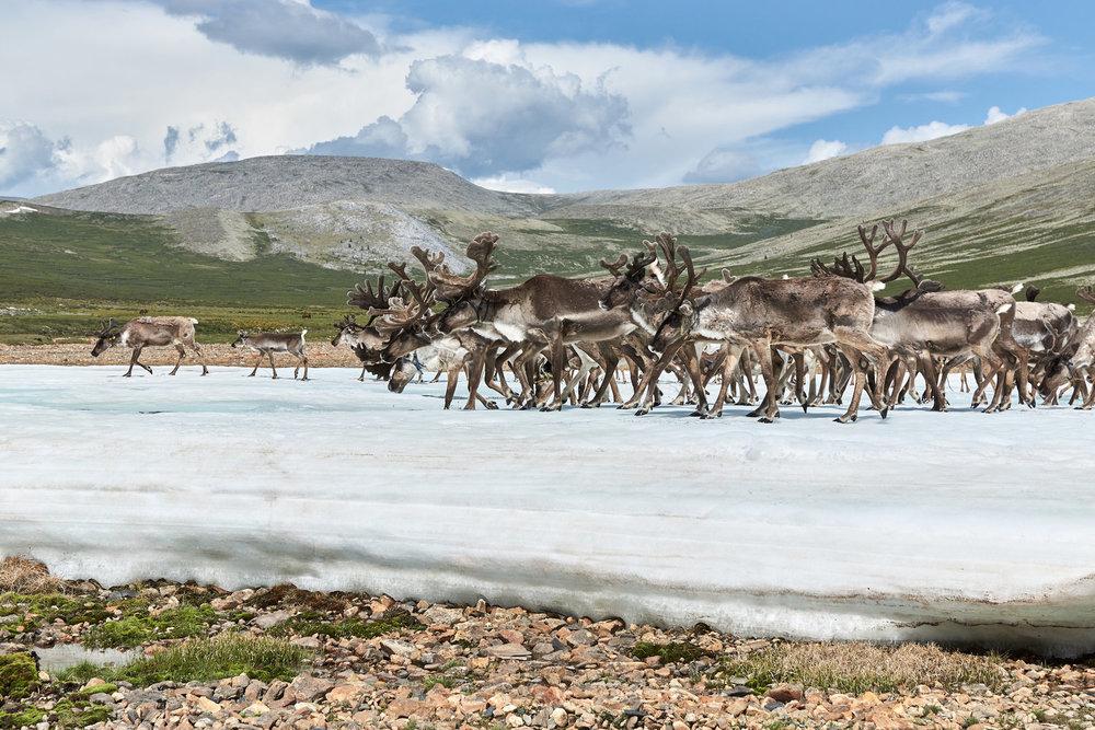 Reindeers by Khasar Sandag