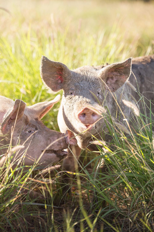 Borrowdale Pig.jpg