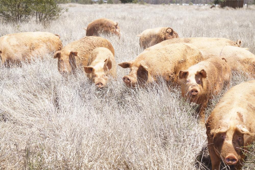 Borrowdale Pig2.jpg