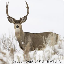 Mule Deer (Credit: Oregon Department of Fish and Wildlife)