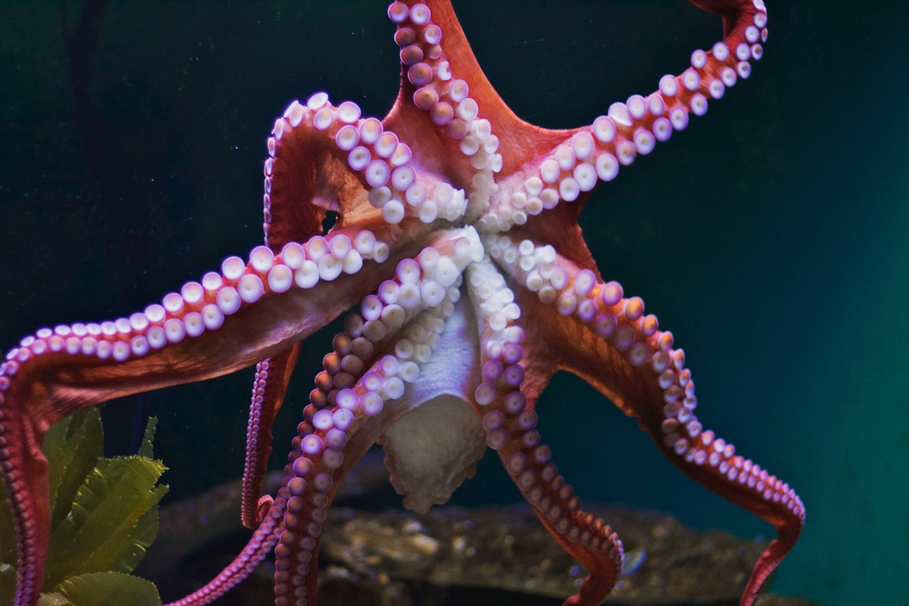 A giant Pacific octopus. Image: Michael Bentley/Flickr. License: CC BY 2.0