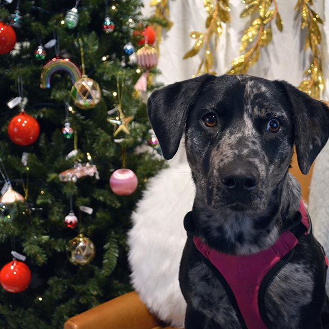 it's perfectly fine to get fancy pictures of your dog's first christmas right? thanks  @westelmprovidence for the cute pics of Pepper 🥰🎄 #westelmxaspca #christmasdog #happypuppy #catahoula #rhodehomerescue