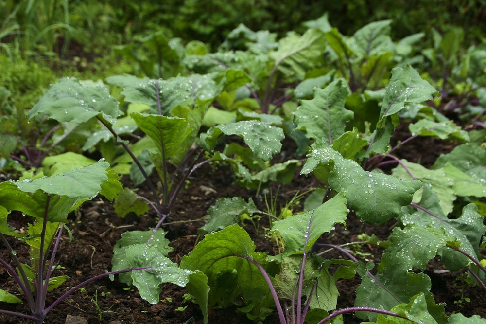 [A patch of wild green veggies with purple stems bursting out of the ground, glazed with water droplets.]