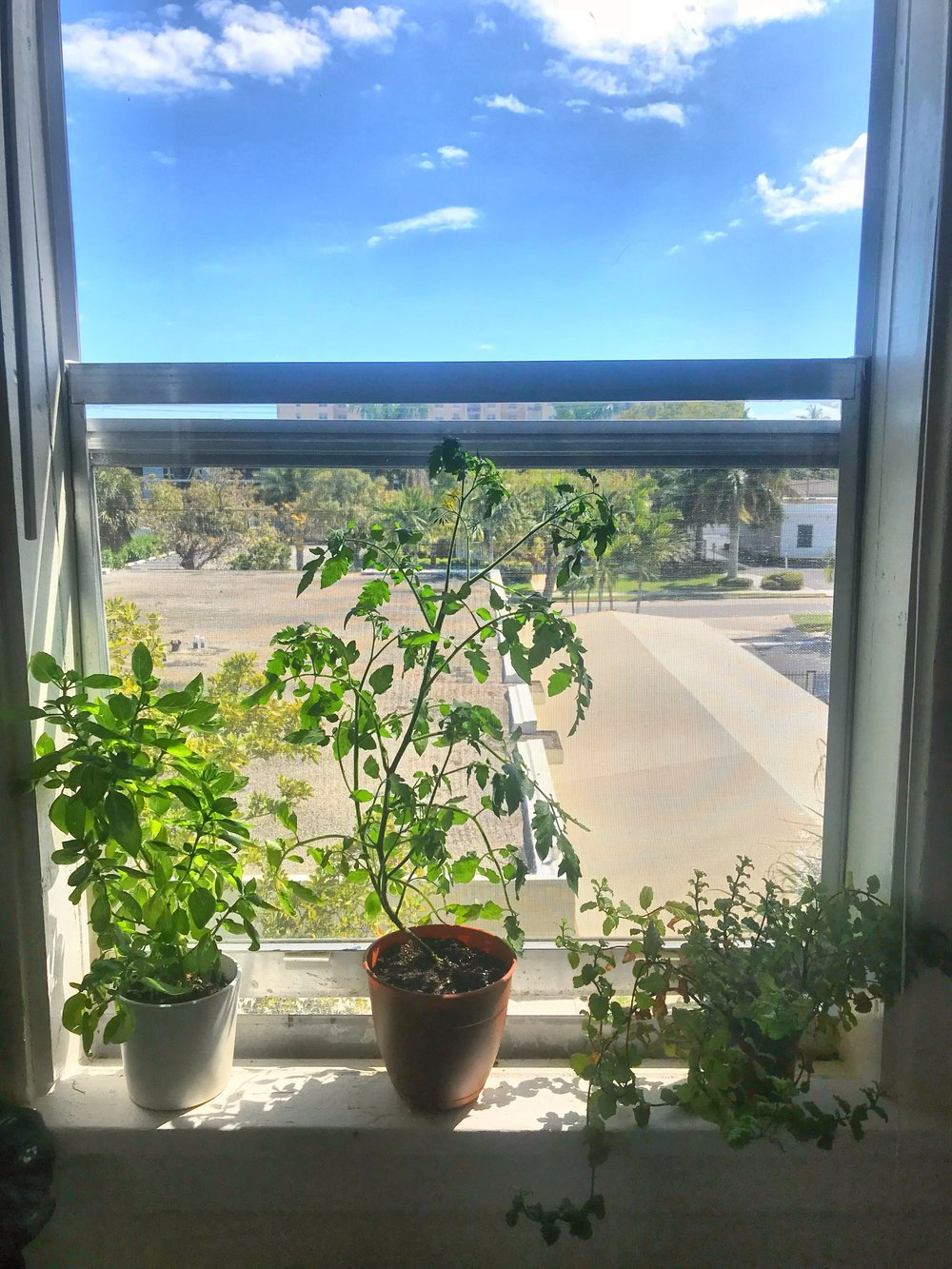 Repotted, happy tomato plant.