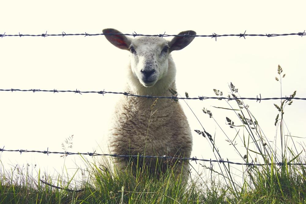 sheep-909136_1920.jpg