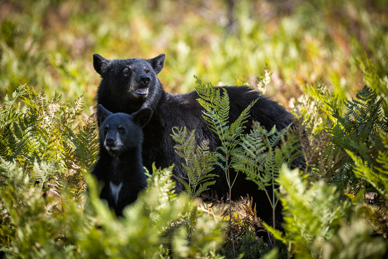 Sow Bear with cub In Algonquin Park with members of the Barrie Photo Club  Camera Club